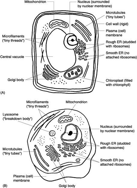 plant vs animal cell to color